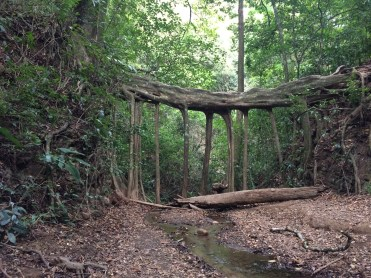 Natural tree bridge, Monte Verde cloud forest, Costa Rica