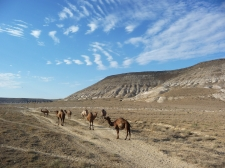 Camels in the Kazakh desert