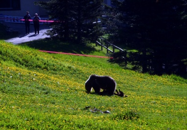 Grizzly mum with two cubs by Lake Louise